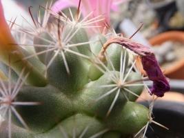 マミラリア(=バルチェラ)・蓬莱宮(ほうらいぐう)Mammillaria shumannii Syn: Bartschella schumannii)もしかして種?♪2017.08.25