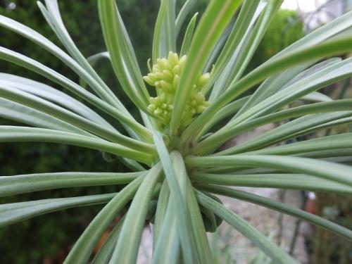 クレイニア・モンキーツリー(幅広黄緑タイプ)(Kleinia neriifolia (=Senecio kleinia) セネシオ・天竜~花芽が来ました♪2017.09.09