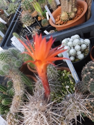 ロクサントセレウス・セクストニアヌス(Loxanthocereus=Cleistocactus sextonianus)開花♪2017.09.10