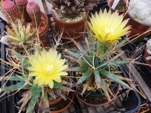 レウクテンベルギア・晃山(こうざん)(Leuchtenbergia principis)同時開花♪2017.09.12