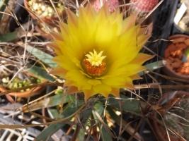 レウクテンベルギア・晃山(こうざん)(Leuchtenbergia principis)同時開花♪