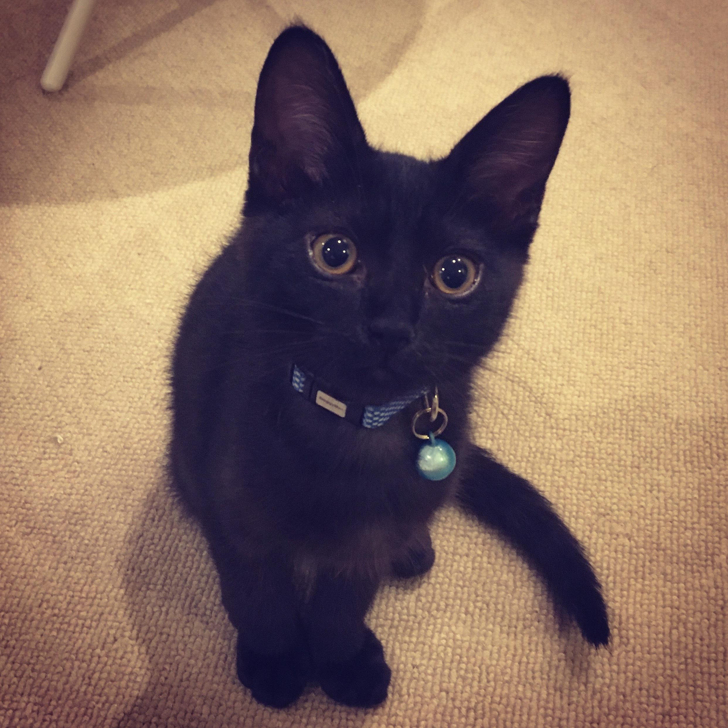 猫 感謝 日 黒 の