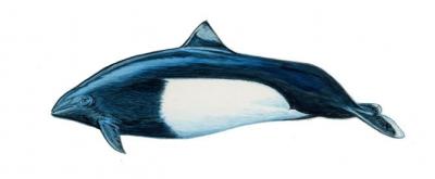 Dalls-Porpoise.jpg