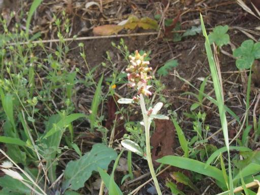 20170611・緑の森植物10・ウラジロチチコグサ