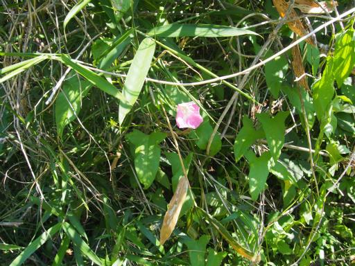 20170611・緑の森植物07・ヒルガオ