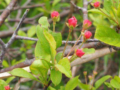 20170618・湿原とヒメサユリの旅2-13・ズミは花が白蕾がピンク
