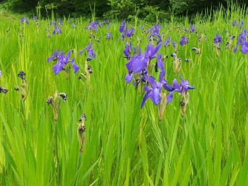 20170618・湿原とヒメサユリの旅植物6・カキツバタ・大