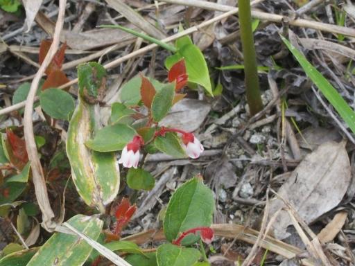 20170618・湿原とヒメサユリの旅植物5・アカモノ・大