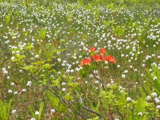 20170619・続湿原とヒメサユリの旅植物2・ワタスゲレンゲツツジ・大
