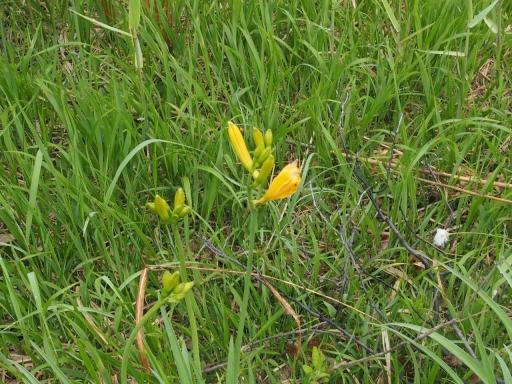 20170619・続湿原とヒメサユリの旅植物1・ニッコウキスゲ・大