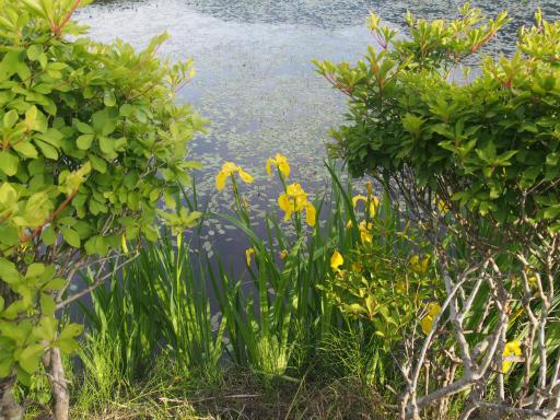 20170619・湿原とヒメサユリの旅9-11