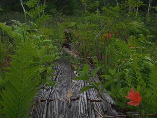 20170618・湿原とヒメサユリの旅特大画像2