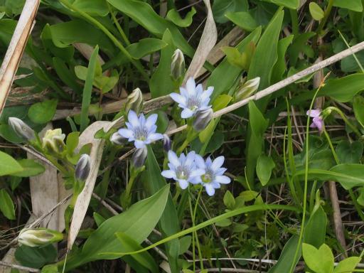 20170618・南会津植物06・タテヤマリンドウ