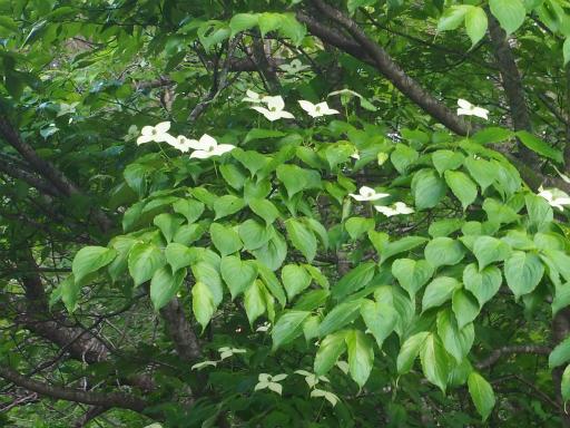20170619・南会津植物45・ヤマボウシ