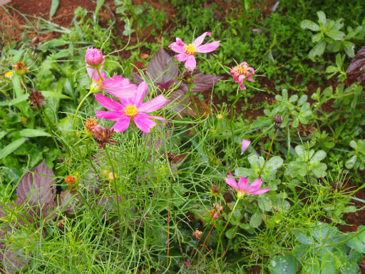 20170723・花歴史温泉1-13・ハヤザキコスモス見つけた