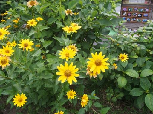 20170723・花歴史温泉・植物07・キクイモモドキ