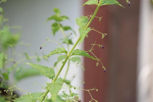 黒花ヒキオコシ0001