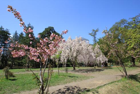 弘前桜祭り2017-2