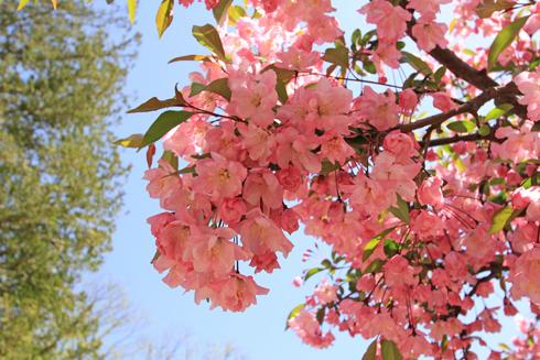 弘前桜祭り2017-15