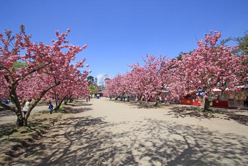 弘前桜祭り2017-17