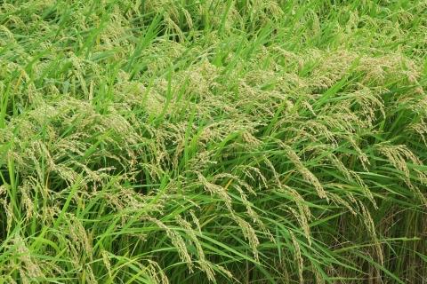 「お米を作る水が無いよ!」 (13)