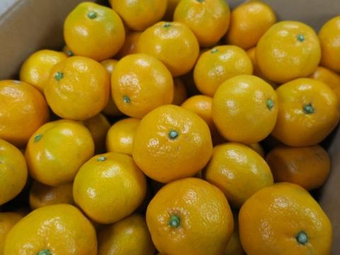 「八郷みかん&十三塚の柿」①