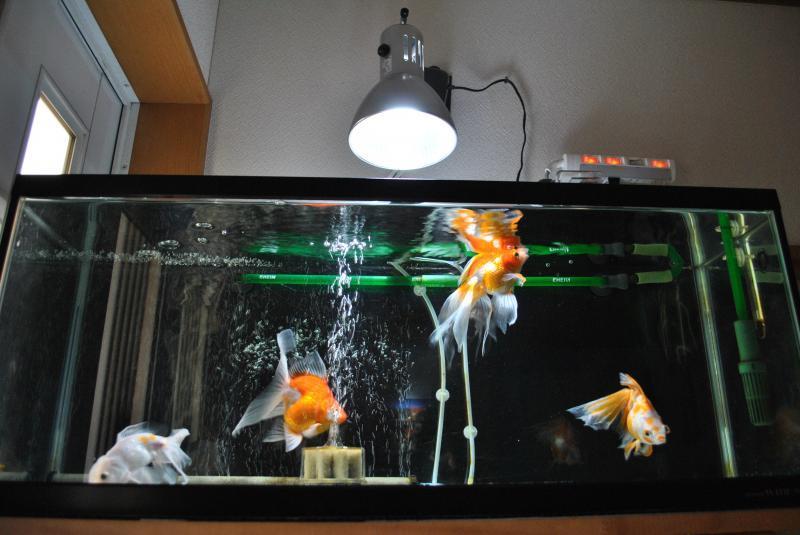 20170716 金魚水槽1