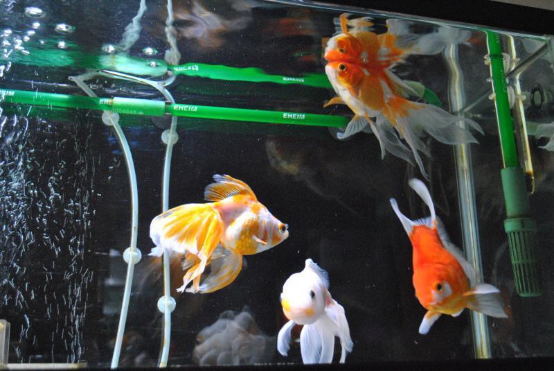 20170716 金魚水槽2