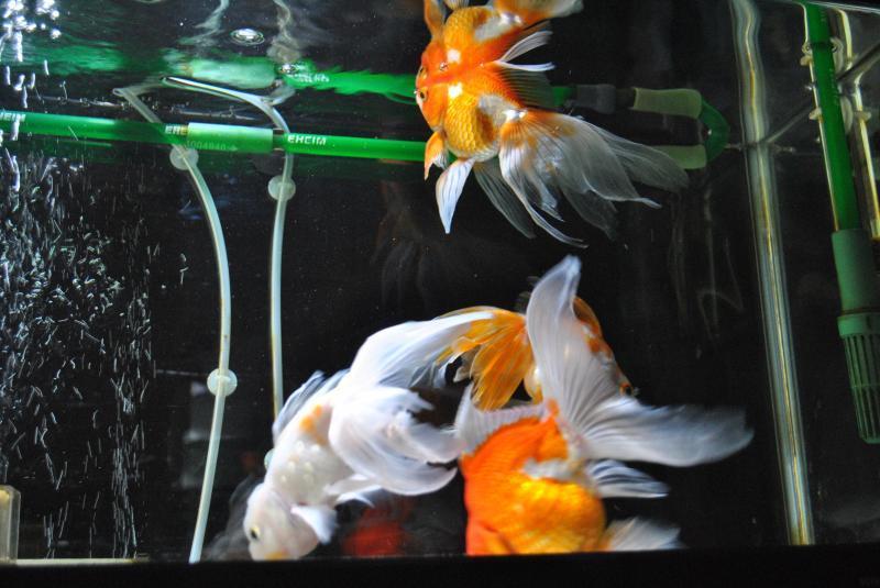 20170716 金魚水槽3
