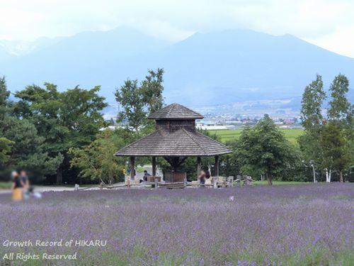 lavender 8