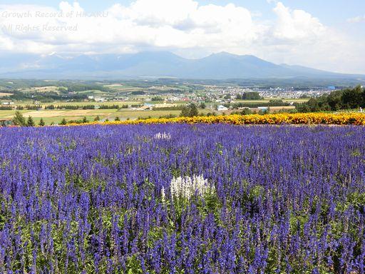 flowerland kamifurano 4