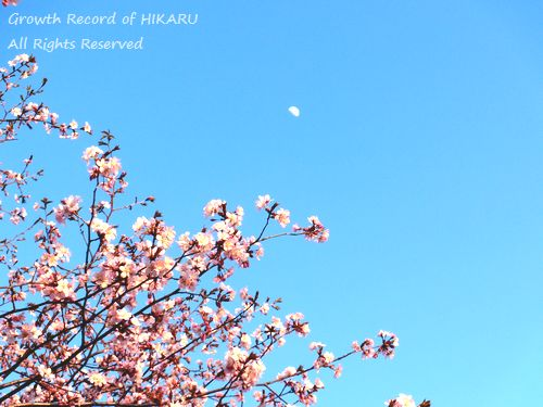 moon&cherry blossoms 1