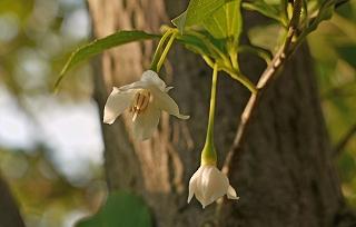 P1020085(1)エゴの花