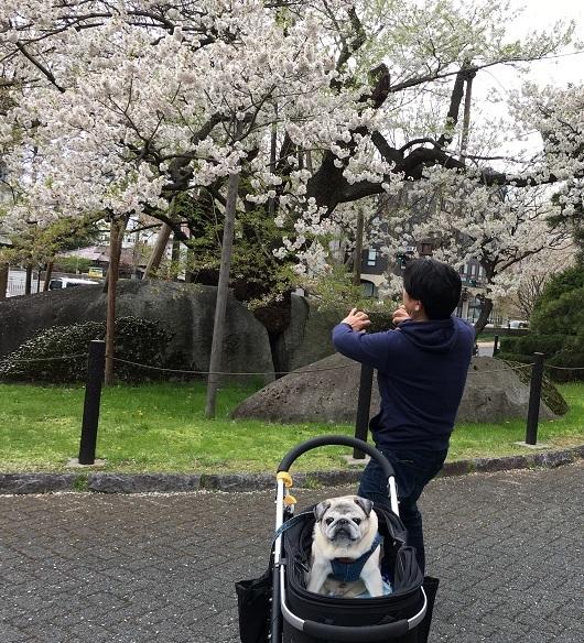 盛岡石割桜20170429