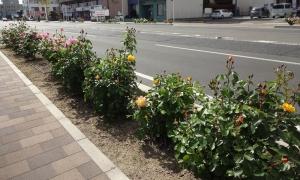 14:59 歩道の植栽もバラ