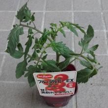中玉フルーツルビーEX