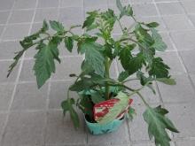 中玉 スィートトマト
