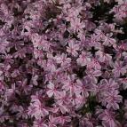 5月31日 芝桜