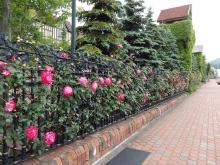 柵のつるバラ