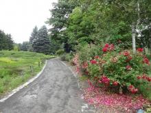 ヒースガーデンそばのバラ