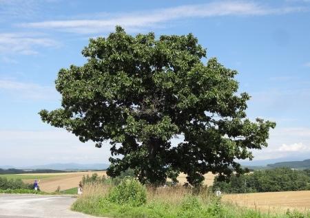 13:33 セブンスターの木
