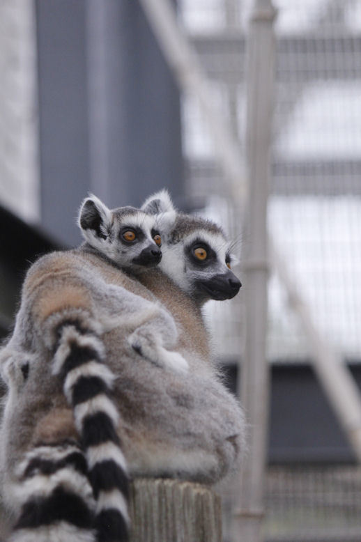 ring-tail lemur 4522