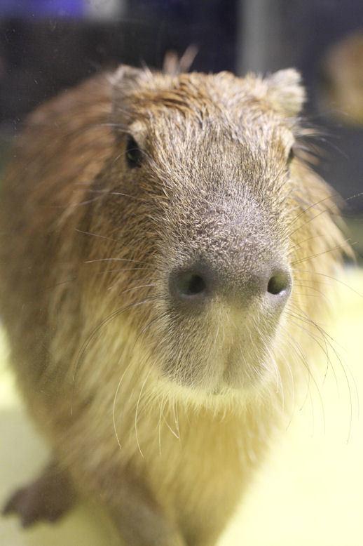 '16.9.29 capybara 7774