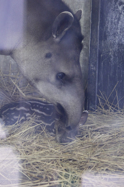 '17.7.13 baby tapir & minori 0969