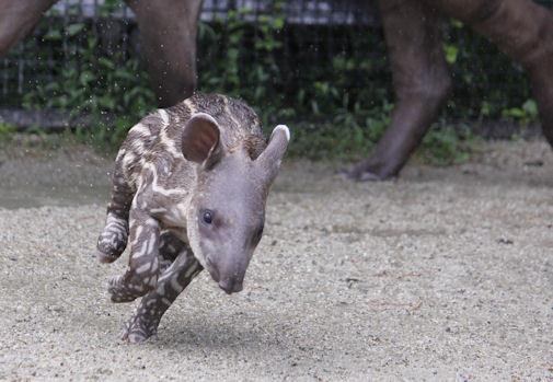'17.7.29 baby tapir 1947