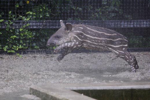 '17.7.29 baby tapir 1938