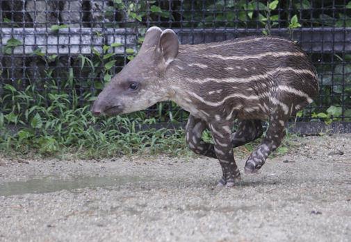 '17.7.29 baby tapir 1939