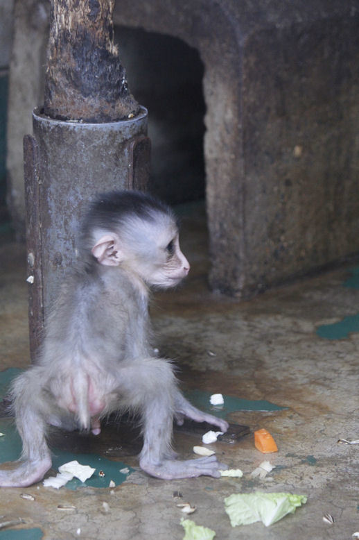 '17.7.29 baby mandrill 2171