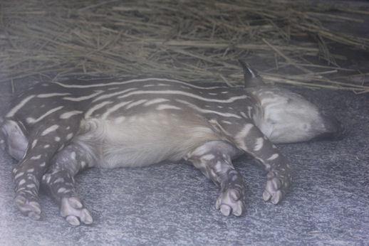 '17.8.5 baby tapir 2609