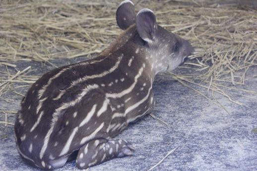 '17.8.12 baby tapir 3313